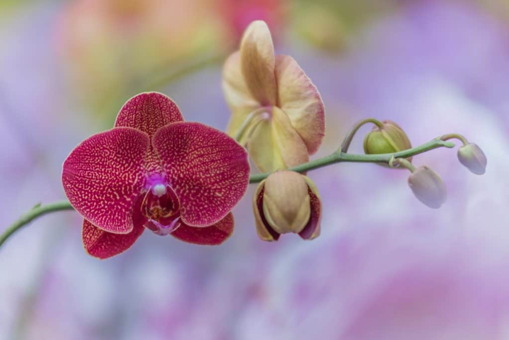 Close up of pink orchid flowers - perfect indoor plants for garden offices