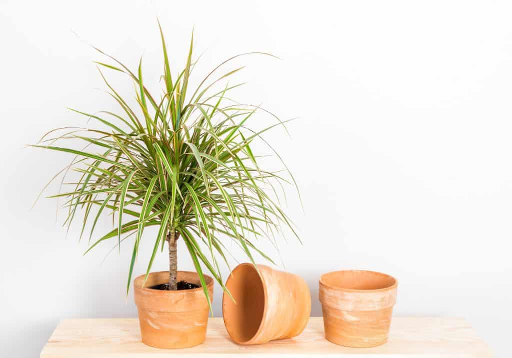 Dracaena marginata tricolor, or Madagascar dragon tree. Plant and clay pots on a wooden shelf.