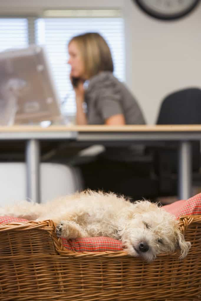 Dog sleeping in garden home office with woman in background
