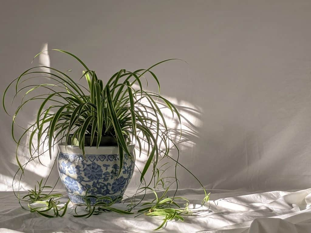 plants for your garden room spider plant